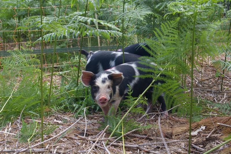 Piggy Small