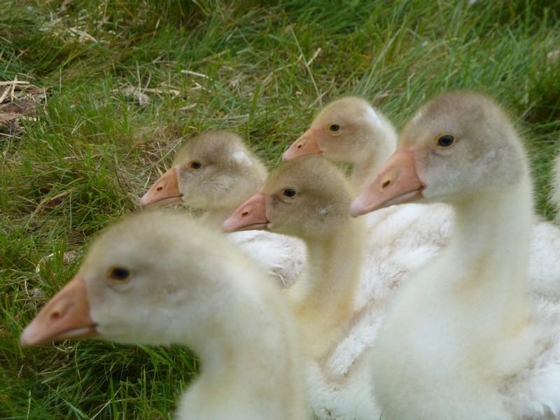 3 week old geese resting