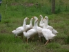 7 week old geese