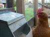 ex battery hen
