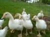 3 week old geese